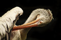 Free Pelican At The Singapore Zoo Stock Images - 35234834