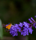 Free Delaware Skipper Butterfly Royalty Free Stock Images - 35236919