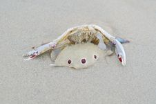 Dead Crab On The Beach Stock Images