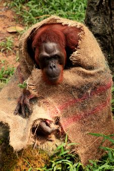 Free Orangutan At The Singapore Zoo Stock Image - 35234971