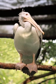 Free Pelican At The Singapore Zoo Royalty Free Stock Image - 35235926