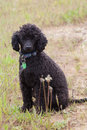 Free Black Toy Poodle Royalty Free Stock Image - 35246556