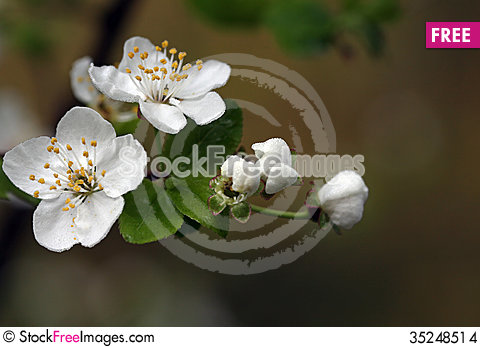 Free Blooming Twig Stock Images - 35248514