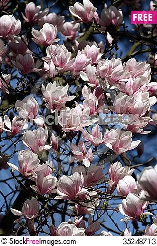 Free Magnolia Stock Photos - 35248713
