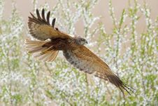 Western Marsh-harrier &x28;Circus Aeruginosus&x29;. Royalty Free Stock Photo