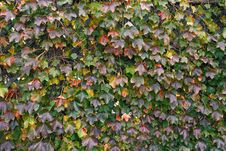 Free Grape Leaves In Autumn Stock Photography - 35241772