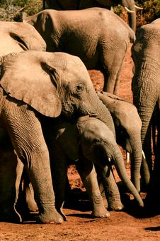 Free Elephant Family Royalty Free Stock Photo - 35246835