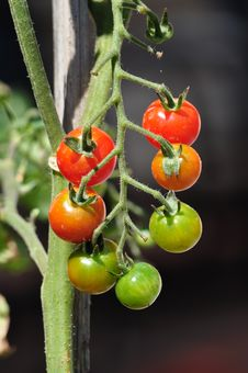 Free Cherry Tomatos On The Plant Royalty Free Stock Photography - 35247167