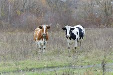 Two Cows Look Into The Lens Royalty Free Stock Photos