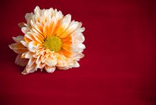 Free Orange Chrysanthemum Flower Stock Photo - 35251180