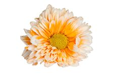 Free Chrysanthemum Flower Stock Photography - 35251202