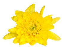 Free Chrysanthemum Flower Stock Images - 35251204