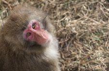 Free Japanese Snow Monkey Stock Images - 35251284