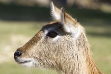 Free Kafue Lechwe Stock Images - 35255104