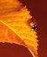 Free Ladybug Royalty Free Stock Photography - 35252977