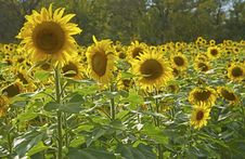 Field Of Sunflowers Are Backlit By The Sun. Stock Photography