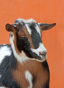 Free Goat Royalty Free Stock Photography - 35266397