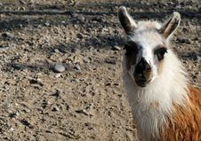 Free Sad Llama Royalty Free Stock Photography - 35272917