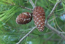 Free Pine-tree Stock Image - 35275371