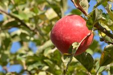 Free Apple Tree Stock Photo - 35275800
