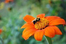 Free Bee Resting On Orange Flower Stock Photography - 35282642
