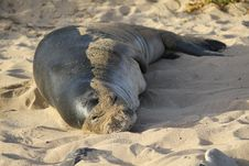 Free Hawaiian Monk Seal Stock Photography - 35286172