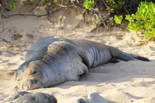 Free Hawaiian Monk Seal Royalty Free Stock Photo - 35286175