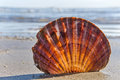 Free Scallop Shell 2 Royalty Free Stock Image - 35294906