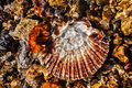 Free Scallop Shell Royalty Free Stock Image - 35294996
