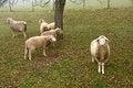 Free Sheep Royalty Free Stock Images - 35297069