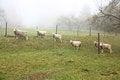 Free Sheep Stock Photos - 35297143