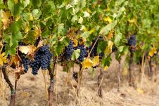Free Sangiovese Grape Stock Image - 35294381