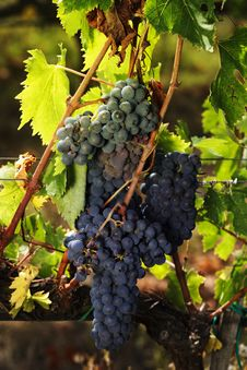 Free Sangiovese Grapes Royalty Free Stock Photography - 35294437