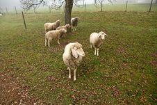 Free Sheep Royalty Free Stock Image - 35296976
