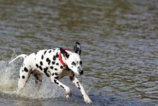 Free Dalmatian Running In Water Royalty Free Stock Photos - 35297168