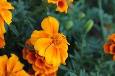 Free Marigold Royalty Free Stock Image - 35297216