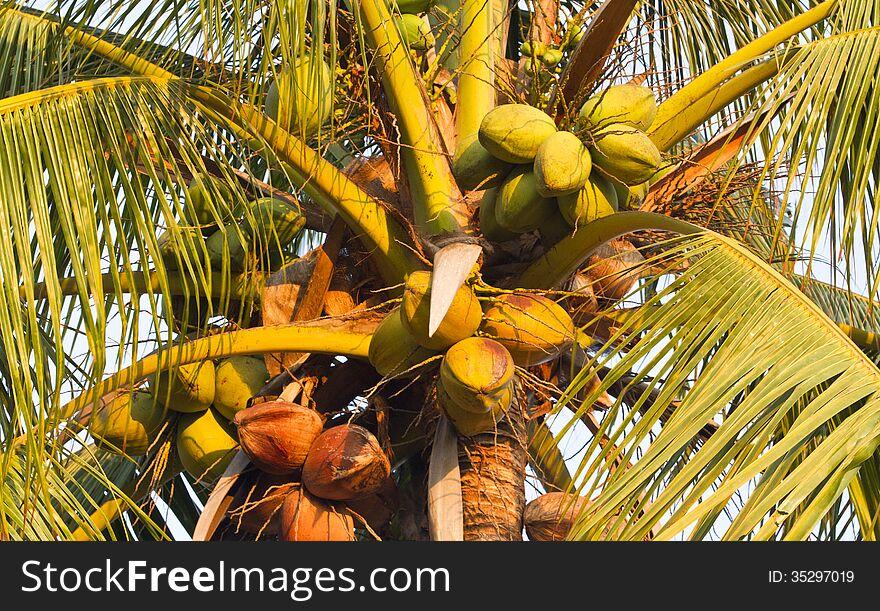 Coonut tree