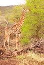 Free Giraffe Feeding On Acasia Tree Stock Photos - 3533293