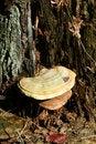 Free Tree Fungus Stock Photos - 3536363