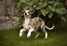 Free Running Dog Royalty Free Stock Image - 3530006