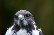 Peregrine Falcon Royalty Free Stock Image