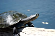 Free Turtle On A Log Royalty Free Stock Photo - 3530625