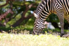Free Zebra Grazing Royalty Free Stock Images - 3530629