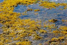 Free Tidepool Seaweed Stock Photos - 3530683