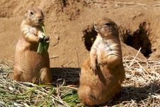 Free Prairie Dogs Eating Grass Stock Photography - 3530752