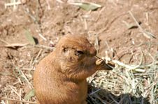 Free Prairie Dog Eating Grass Stock Images - 3530754