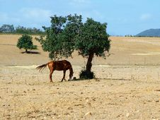 Free Horse Under Olive S Tree Stock Images - 3530874