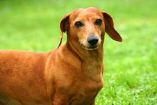 Free Dachshund Royalty Free Stock Photos - 3530968