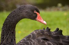 Free Black Swan Stock Photo - 3531540