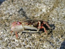 Defending Crab Stock Images